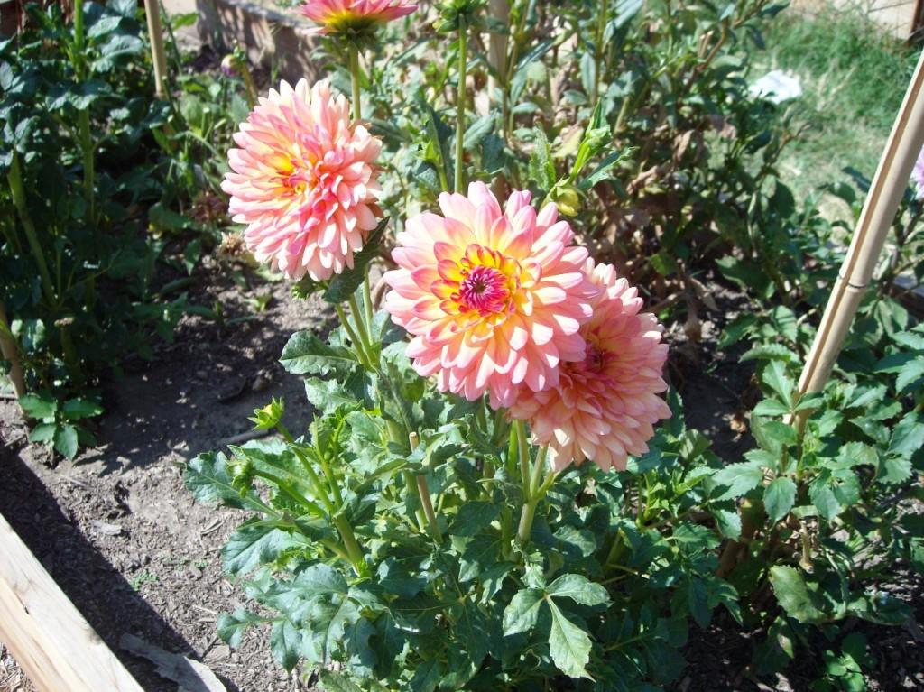 Cyndi Hubach's Dahlias in her community garden