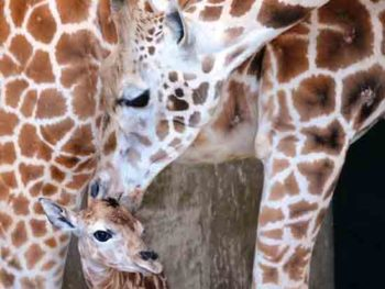 Baby Giraffe at Leo Zoological Conservation Center