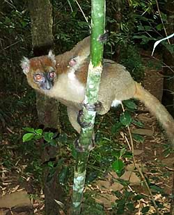 Lemur from Laurie McAndish King book Lost Kidnapped Eaten Alive