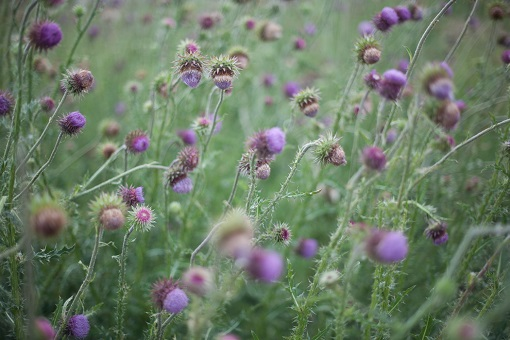 Thistles in the field