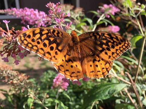 Beautiful butterfly feasting in MA garden/Photo: P. Burke